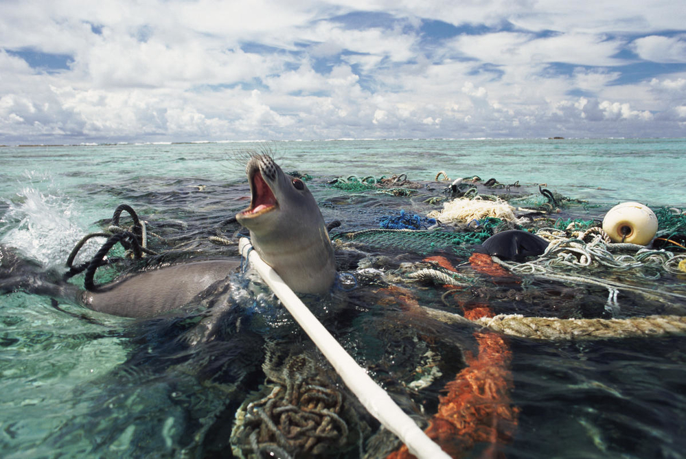 Seal caught in fishing gear
