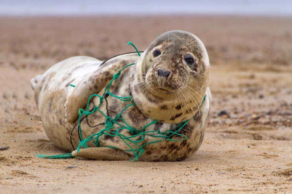 Seal pup Puri, tangled in a fishing net
