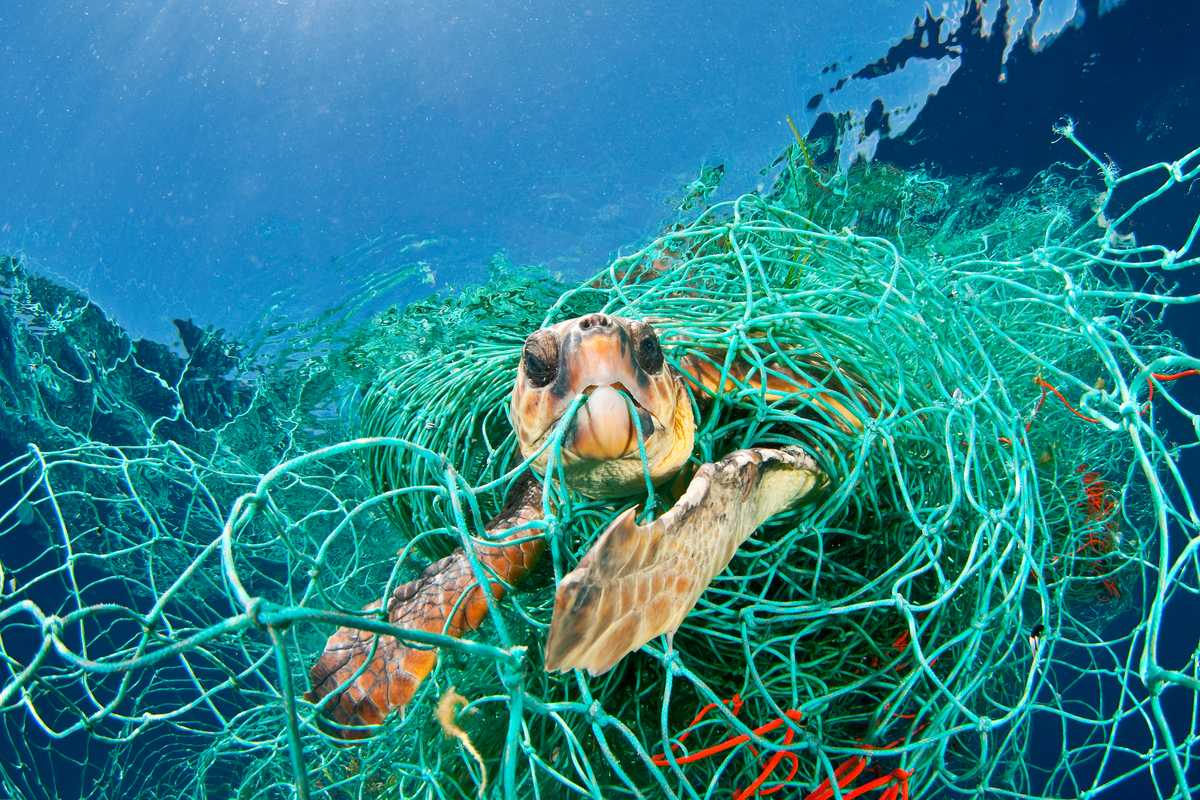 Loggerhead sea turtle trapped in an abandoned fishing net